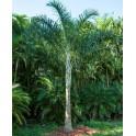Palmier Plume