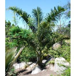 Palmier Stumpy