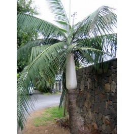 Palmiste Blanc