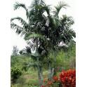 Palmier Pemba