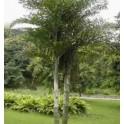 Palmier Queue de Poisson