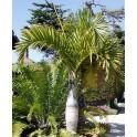 Palmier Bouteille