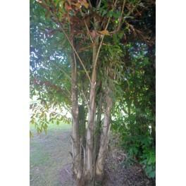 Palmier Celeri Multipliant