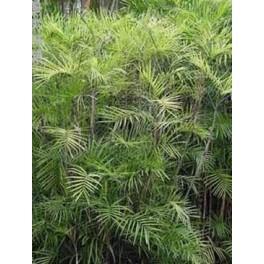 Palmier Bambou