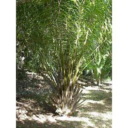 Palmier à Huile d'Afrique