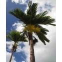 Palmier à Betel