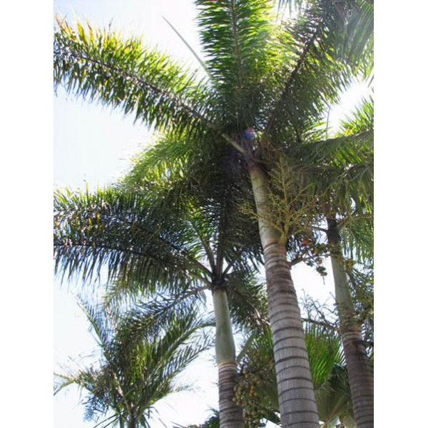 palmier vente