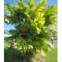 Palmier de Mac Arthur