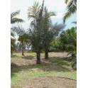 Palmier à Sucre