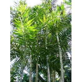 Palmier Microcarpum