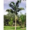 Palmier Veitchia