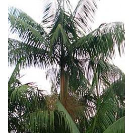 Palmier Pinot ou Wasseï