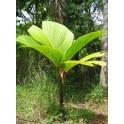 Palmier à Echasses Des Seychelles