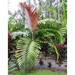 Palmier de Chambeyron
