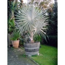 Palmier de Bismarck Argenté