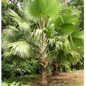 Palmier de Bismarck Vert