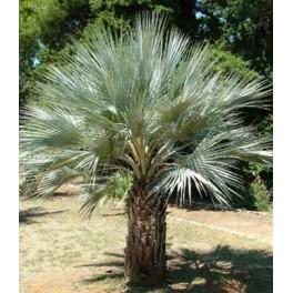 palmier brahea