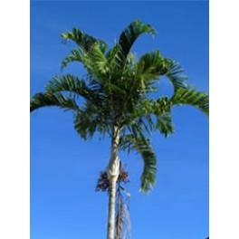 Palmier de Carpentarie