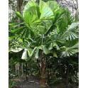 Palmier Ventilateur D'Australie