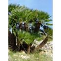Palmier Nain de Mediterrannee