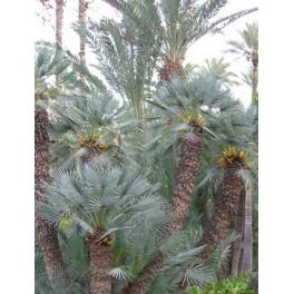 Palmier Bleu de Mediterrannee