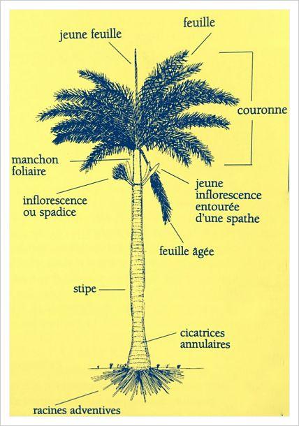 anatomie des palmiers - Martinique Palmier